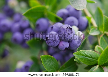Blueberry twig, blueberry bush in a garden in summer time. Macro perspective, background. Fresh fruits.