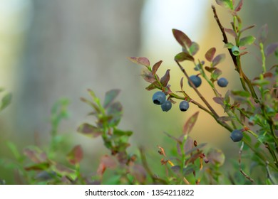 Blueberry, vaccinium myrtillus plant with berries, forest in the background