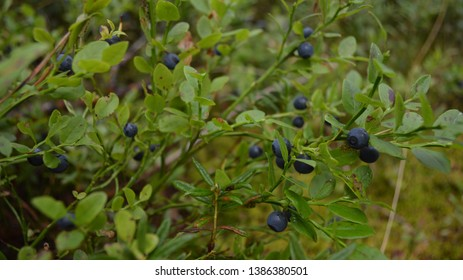 A blueberry (whortleberry, huckleberry) bush with the dark ripe berries in the forest on a gloomy summer day