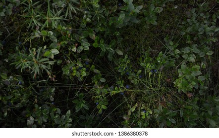 Blueberry (whortleberry, huckleberry) bushes with the dark ripe berries in the forest on a gloomy summer day against the ground