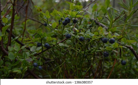 Blueberry (whortleberry, huckleberry) close up  macro bushes with the dark ripe berries in the forest on a gloomy summer day