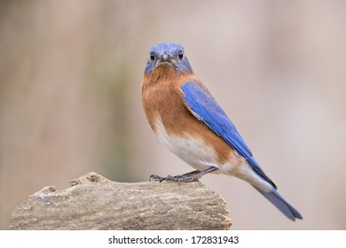 Bluebird with Both Eyes on Camera