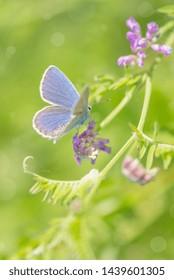 Bluebird butterfly sitting on a blade of grass on a summer meadow
