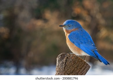 A Bluebird perched on a pine stump in the winter.