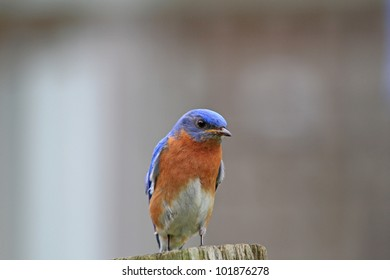 Bluebird perched on summers day