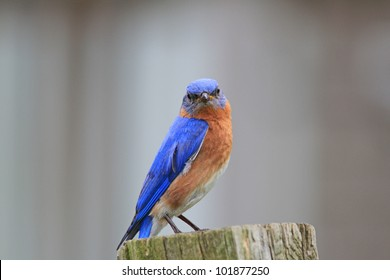 Bluebird sitting in the yard