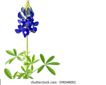 Bluebonnet against a white background with copy space