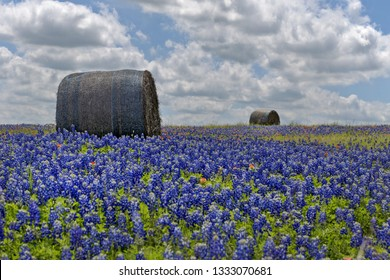 Bluebonnet field with hay bales, Texas, USA