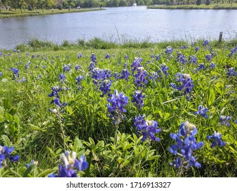 Bluebonnet flowers blooming at a local public park with a pond in the background