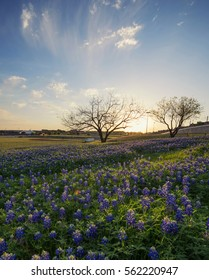 Bluebonnet flowers field in Irving, Texas