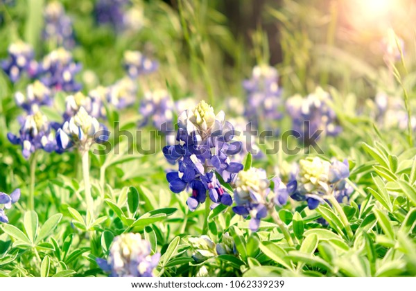 Bluebonnet image closeup under Texas sunny day in fresh outdoor meadow.  Blossom on spring flowers Lupinus.