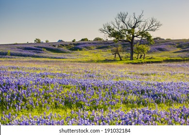 Bluebonnet or Lupine wildflowers filed in Ennis Texas.