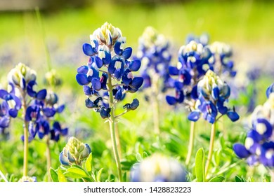 Bluebonnet wild flowers grow in a large green field on a warm sunny summer day. The Bluebonnet is the state flower of Texas.