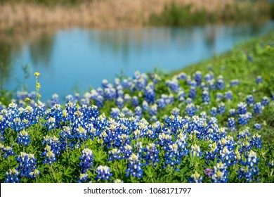 Bluebonnets along waterside hill Central Texas springtime in Austin , Texas , USA