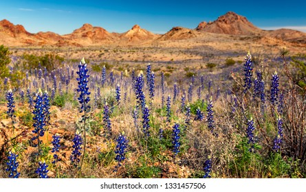 Bluebonnets bloom in Big Bend National Park, Texas