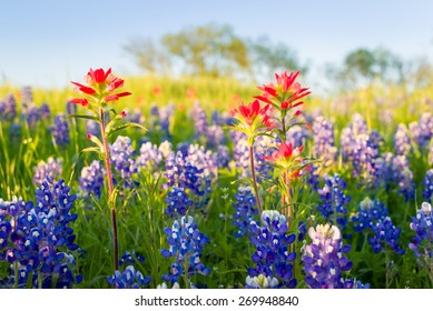 Bluebonnets and Indian paintbrushes bathed in late afternoon light