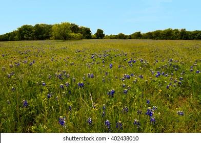 Bluebonnet's in Mckinney Falls State Park, Austin Texas