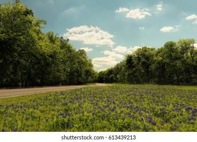 Bluebonnets near Austin Texas