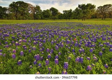 Bluebonnets in Texas