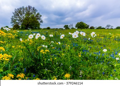 Bluebonnets, White Poppies, Yellow Cut Leaf Groundsel, and other Texas WIldflowers in a Texas Pasture.