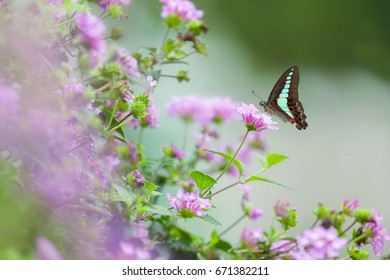 A Bluebottle butterfly on flower