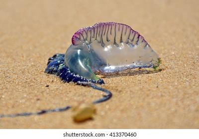 Bluebottle (Portuguese man o' war) on the beach