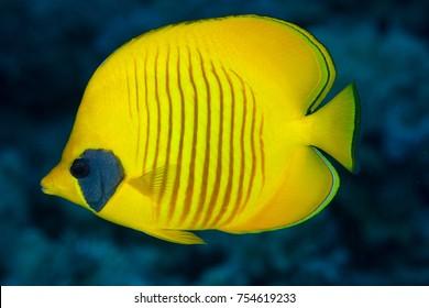 Bluecheek butterflyfish, Chaetodon semilarvatus