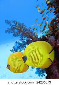 The bluecheek butterflyfish (Chaetodon semilarvatus) two yellow fish in front of beautiful coral reef underwater
