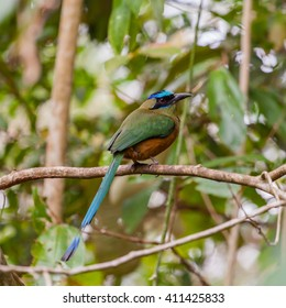 Blue-crowned Motmot, Momotus momota, portrait of nice big bird wild nature, Panama