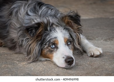 A blue-eyed, blue-merle, miniature austrailian shepard rest on the ground after running around the yard.