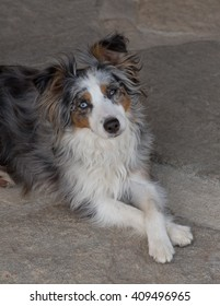 A blue-eyed, blue-merle, miniature Australian shepard rest on the ground after running around the yard. She sits with her paws crossed and looking at the camera.