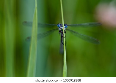 A blue-eyed damselfly perched on a grass blade (insects of Western Siberia).