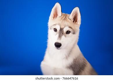 blue-eyed dog breed Siberian husky on blue background