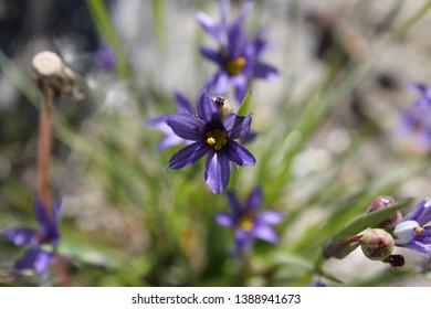 Blue-Eyed Grass specimen sample growing in Ontario Canada