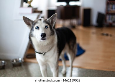 Blue-eyed husky dog in home environment. A beautiful young Siberian Husky with the blue eye gene is seen from the front, curious pet dog looks towards the camera with copy space on the right.