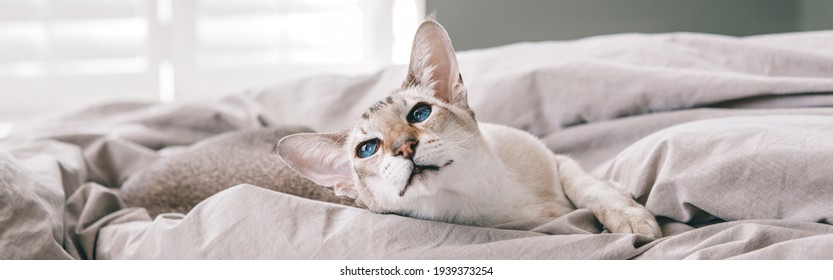 Blue-eyed oriental breed cat lying resting on a bed at home looking away. Fluffy hairy domestic pet with blue eyes relaxing at home. Adorable furry animal feline friend. Web banner header.