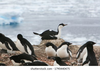 Blue-eyed shag nesting amidst Adélie penguins in Antarctica.