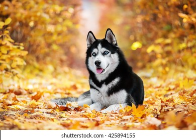 The blue-eyed Siberian Husky lying in the yellow leaves
