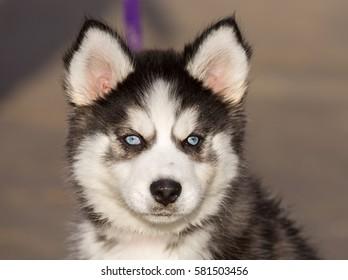 Blue-eyed Siberian Husky Puppy head. 8-Week-Old female headshot with purple leash and sandy beach background.