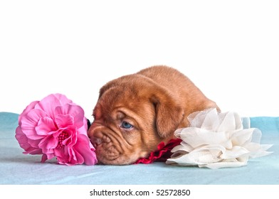 blue-eyed tired puppy sniffing artificial flowers
