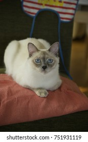 The blue-eyed white cat Day light. Red blanket background