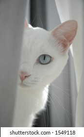 A blue-eyed white cat peering out from behind a white curtain.