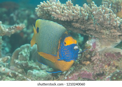 Blueface or yellowface angelfish ( Pomacanthus xanthometopon ) swimming over corals of Bali, Indonesia
