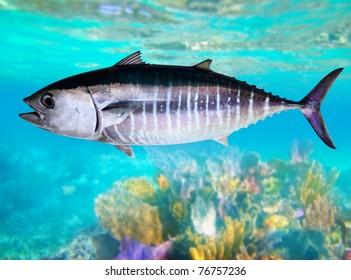 Bluefin tuna fish Thunnus thynnus underwater swimming in sea [Photo Illustration]