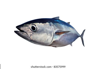 Bluefin tuna isolated on white background real fish Thunnus thynnus