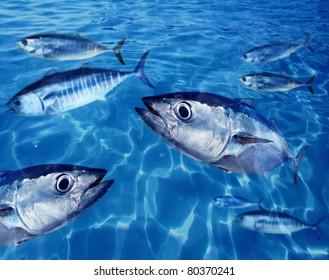 Bluefin tuna Thunnus thynnus fish school underwater swimming blue ocean [Photo Illustration]