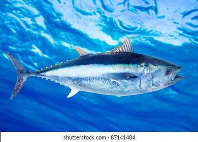 Bluefin tuna Thunnus thynnus saltwater fish underwater blue sea [Photo Illustration]