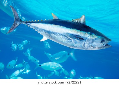 Bluefin tuna Thunnus thynnus saltwater fish in mediterranean [photo-illustration]