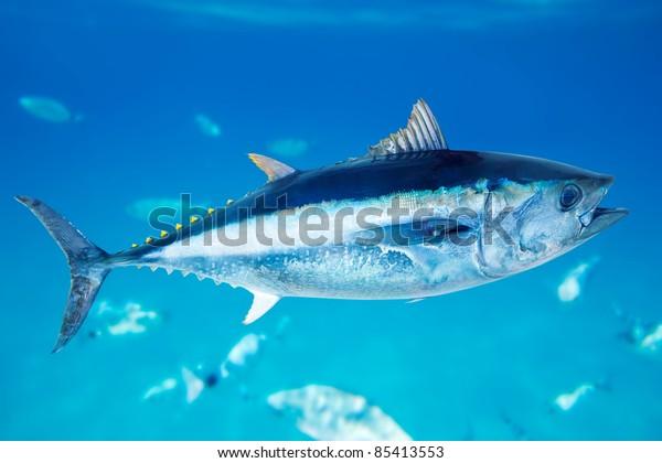 Bluefin tuna Thunnus thynnus saltwater fish in mediterranean [Photo Illustration]