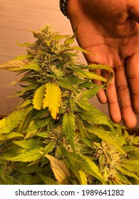 bluefire cannabis drug, close-up, high resolution grow indoor plant marijuana